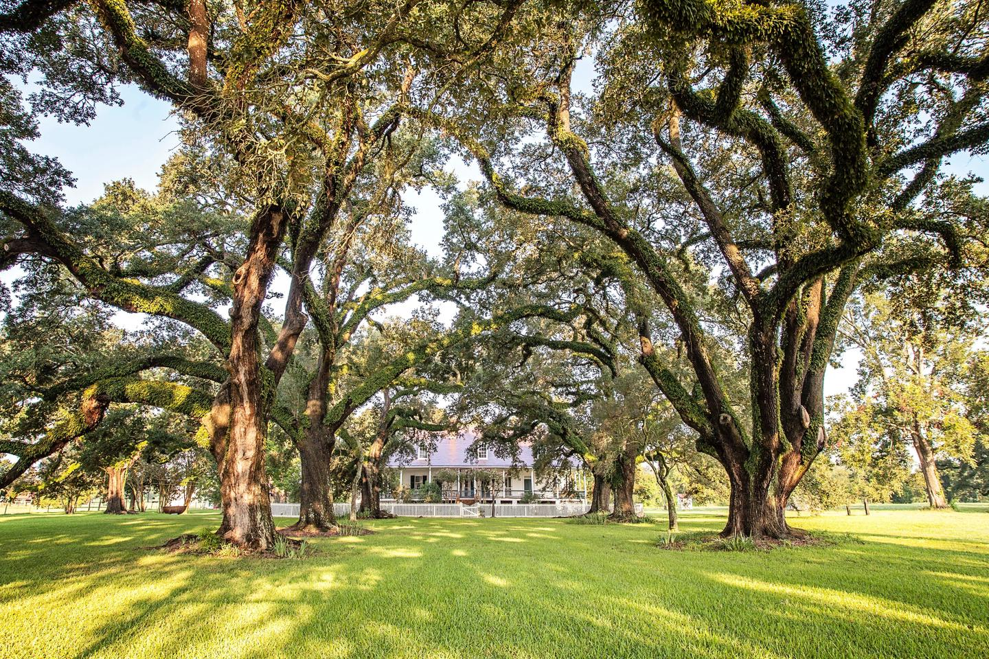 Oak AlleeThe Oak Allee, planted in the mid-1820s, stretches from the Cane River to the Oakland Plantation Main House.