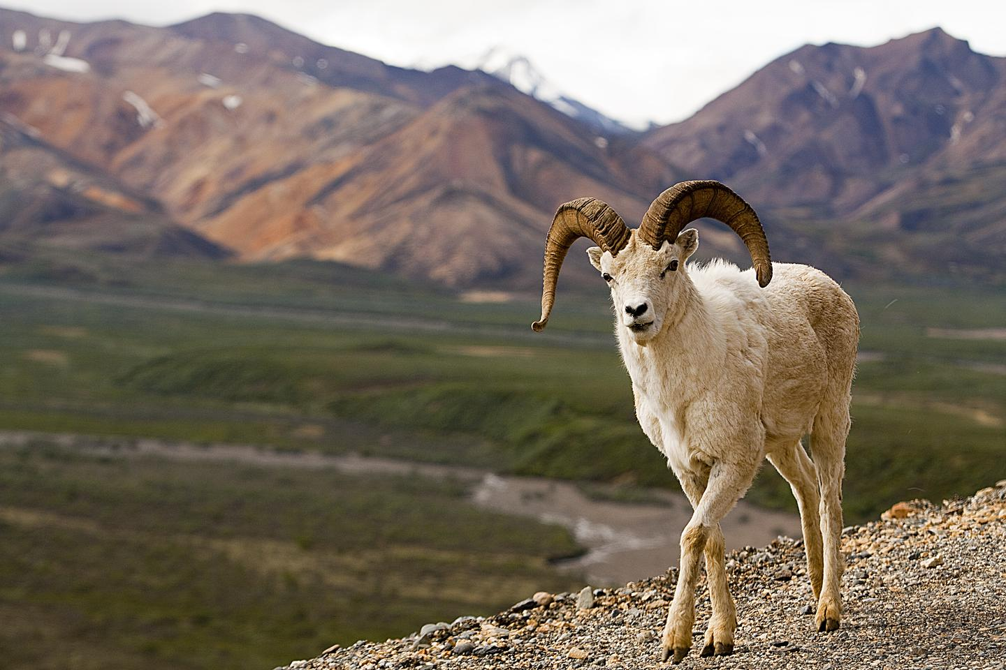 Dall SheepCongress originally created Denali National Park (called Mount McKinley National Park, at the time) to protect wildlife, particularly Dall sheep