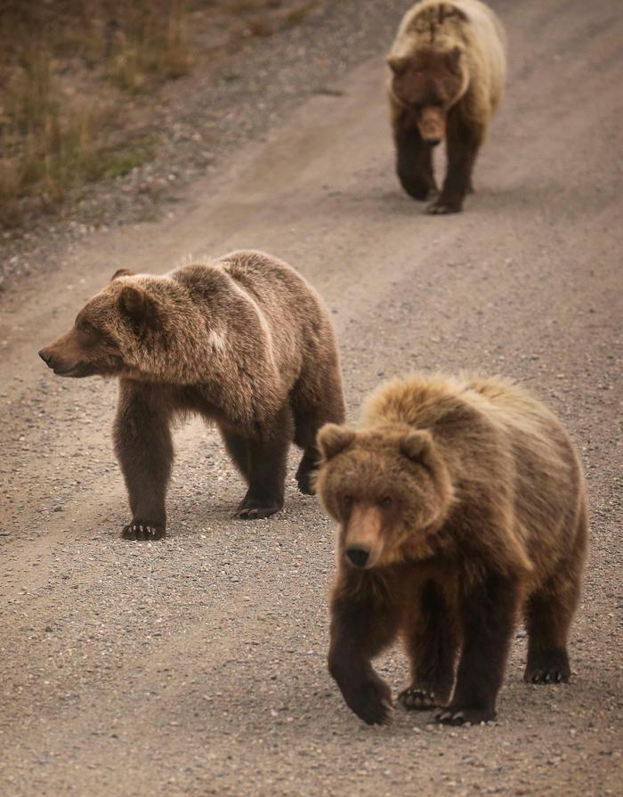 GrizzliesGrizzlies walking on the park's sole road
