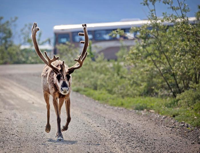 Caribou SightingA tour bus pauses to view a caribou as it walks on the Denali Park Road