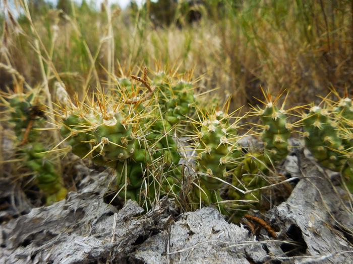 Cacti at Sutton Mountain WSA