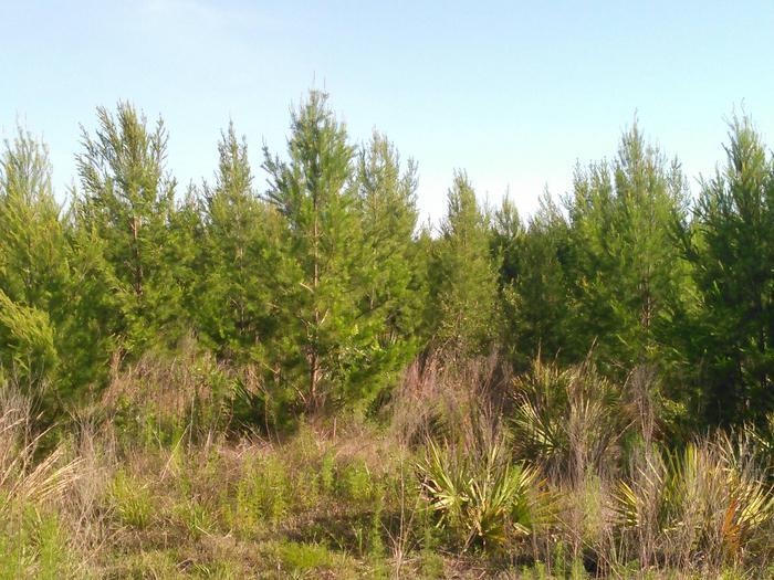 SandPineOcala Sand Pine