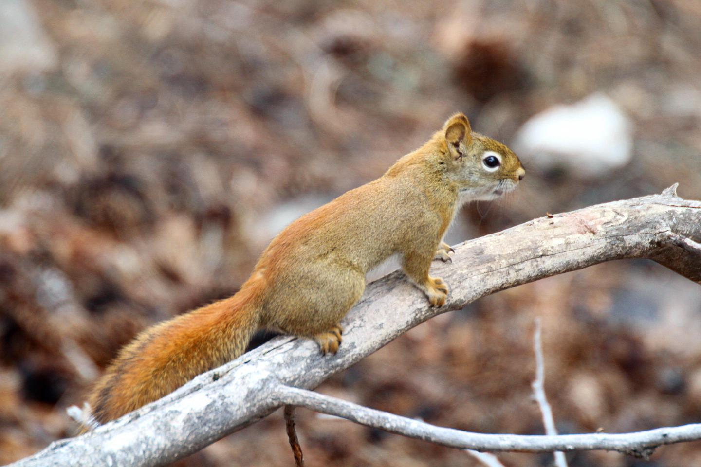 Red SquirrelRed squirrels are commonly observed along the Roof Trail near the visitor center.