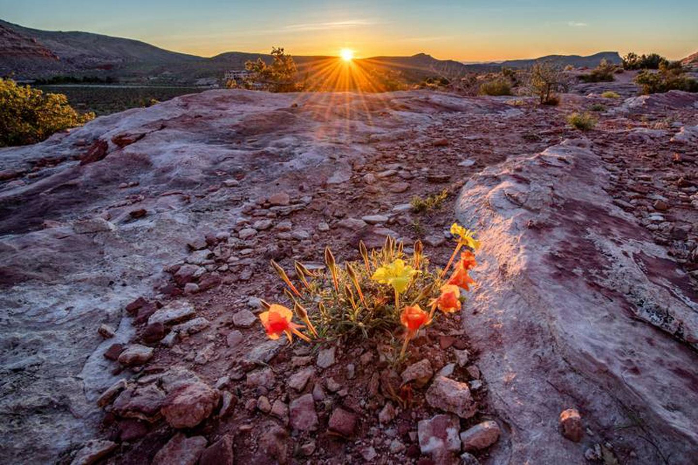 Calico at Sunrise photo in Red Rock Canyon with flowers in foregroundCalico At Sunrise
