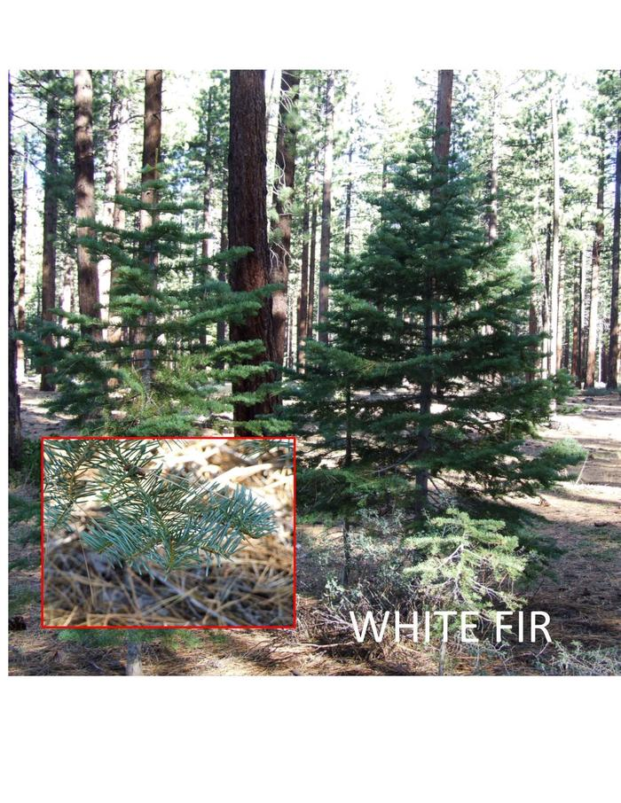 White FirWhite Firs are found at lower elevations. Needles flat along branches