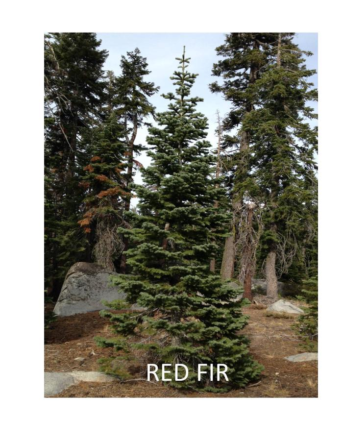 Red FirRed Firs are found at higher elevations. Needles curve up along branches.