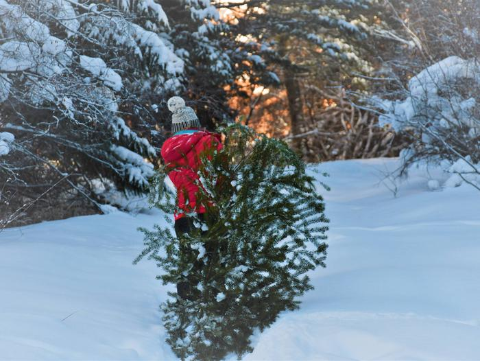 Person Hauling Christmas TreePerson hauling cut Christmas tree across the snowy forest floor.