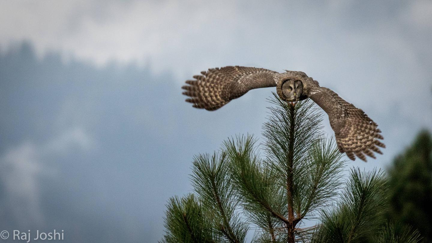 Great Gray Owl.Yosemite National Park