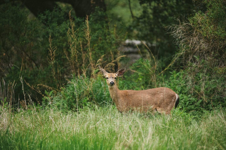 Deer at Pinnacles CampgroundWildlife at Pinnacles