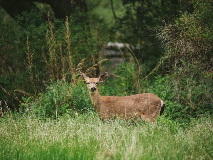 PINNACLES CAMPGROUND WildlifeDeer at Pinnacles Campground