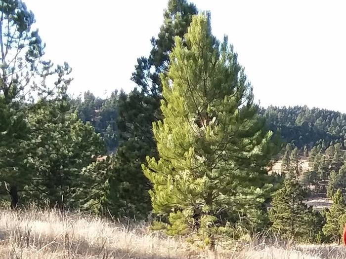 Ponderosa Pine trees on the Pine Ridge Ranger District.Trees on a hillside.