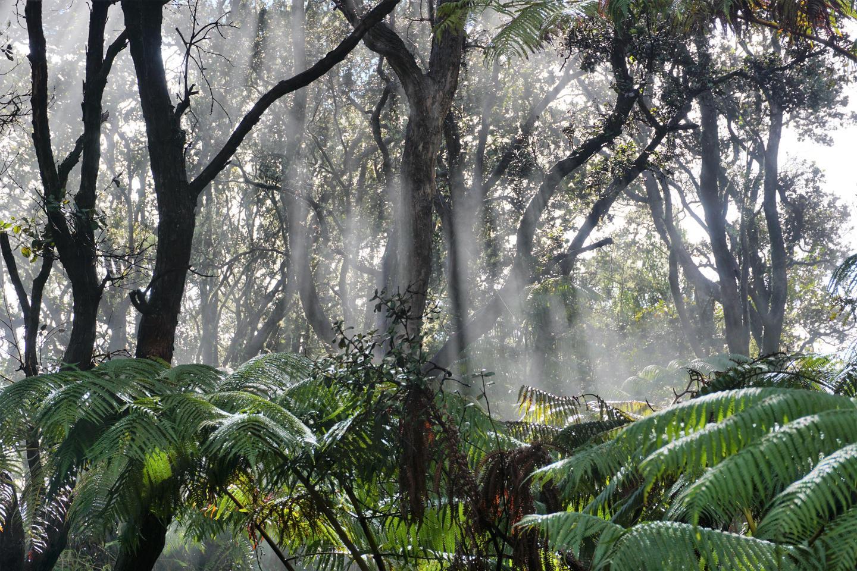 RainforestLush rainforest surrounds Crater Rim Trail near the Halemaʻumaʻu Trail