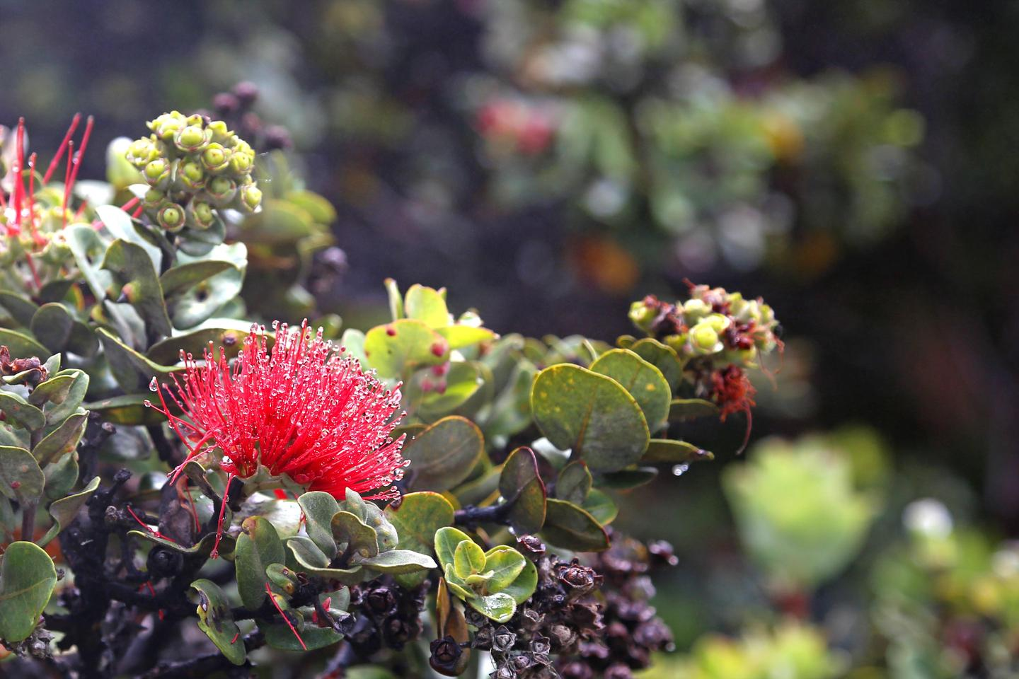 ʻŌhiʻaThe red blossoms of the ʻōhiʻa are a Hawaiian cultural icon