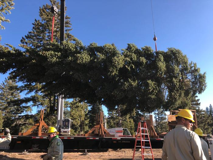 55 foot Capitol Christmas Tree from the GMUG NF 202055 foot Capitol Christmas Tree from the GMUG NF being loaded onto a semi-truck