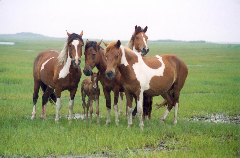 Wild horses in the salt marshes on Assateague IslandAssateague's wild horses can often be found grazing in salt marshes.