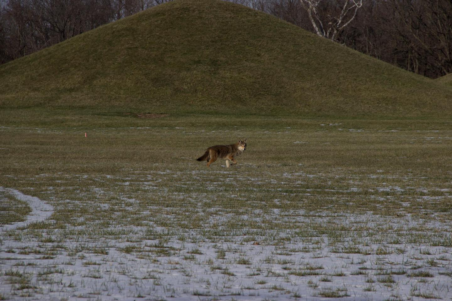 A coyote in the parkA lone coyote stares at the photographer while walking in front of a mound at Mound City Group.