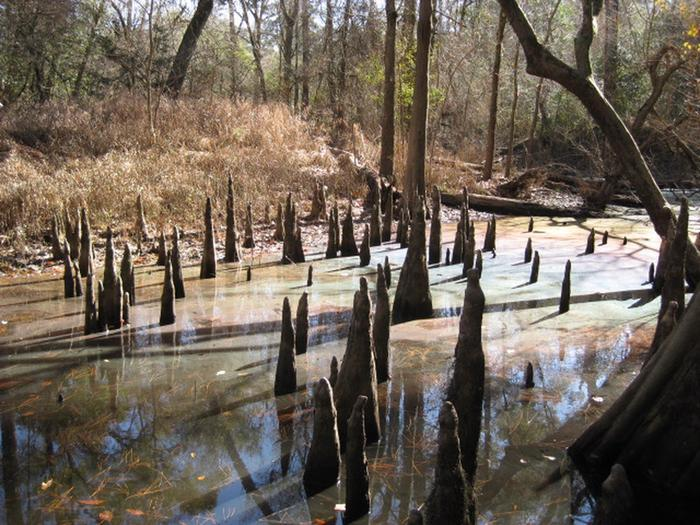 Cypress KneesKnobby knees, extensions of the root system, are a distinctive feature of the bald cypress trees.