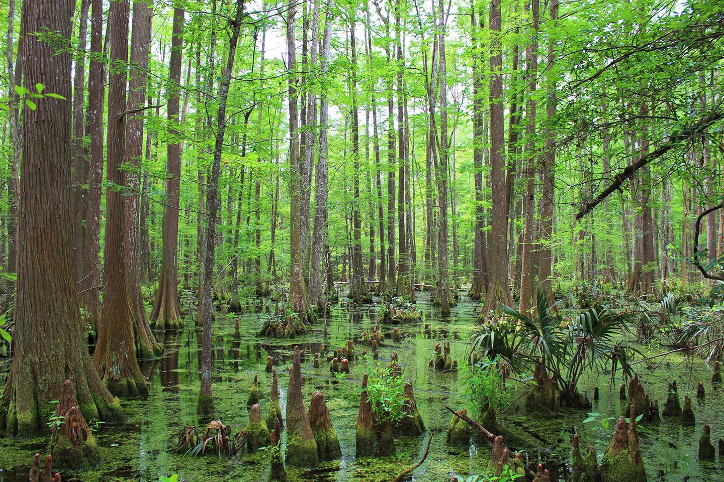 Big Thicket SwampCypress swamp in the Lance Rosier Unit