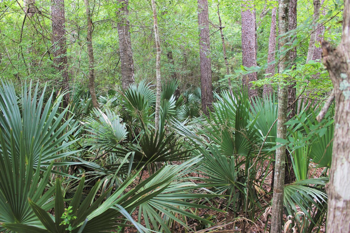 PalmettosDwarf palmettos grow in the Big Thicket's palmetto hardwood flats.
