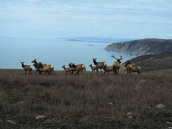Herd of Tule Elk on Tomales PointHerd of Tule Elk on Tomales Point.