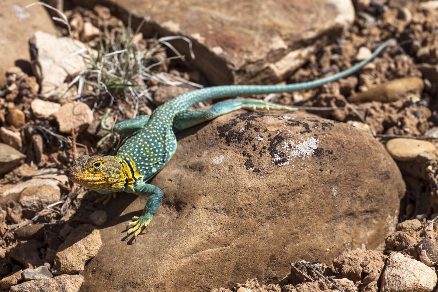 Collared LizardCollard lizards are one of many species that call Hovenweep home.