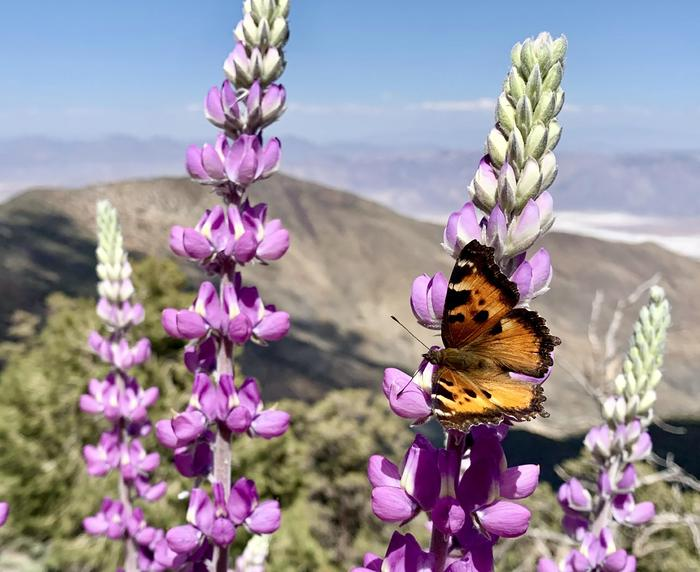 Lupine and Tortoiseshell ButterflyHigher elevations provide a respite from the heat in this alpine ecosystem.