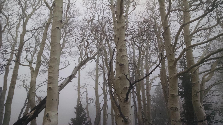 Aspen trunks in winter, shrouded in mist.Aspen trees, Great Basin National Park