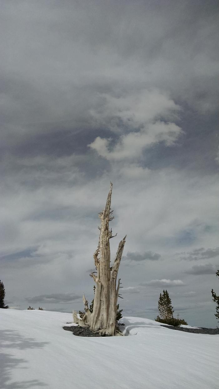 Dead bristlecone in the snow with cloudy sky in the background.Dead bristlecone, Great Basin National Park