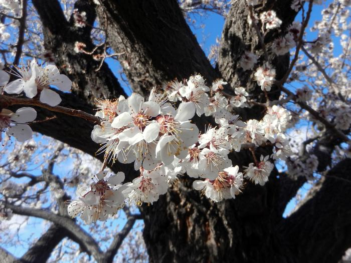 Close up of white flowers on an apricot treeThe historic apricot trees of Absolom Lehman