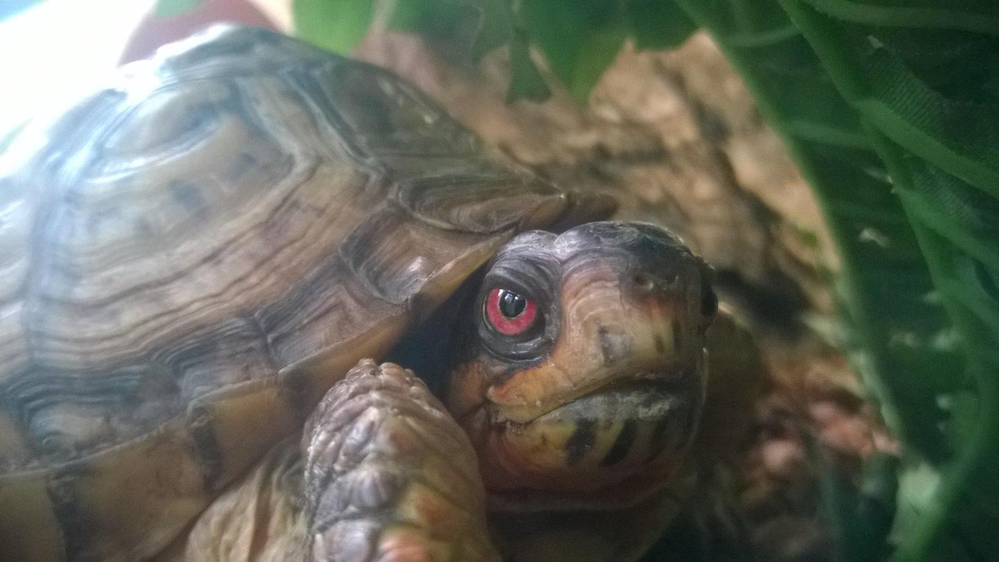 Eastern Box TurtleCome visit Pokey the Eastern Box Turtle at the Nature Center!