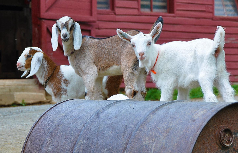 Kid Goats Greet VisitorsSpring-born kid goats greet visitors to the barn.