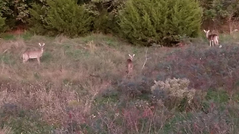White-tailed deer at Elk City Lake