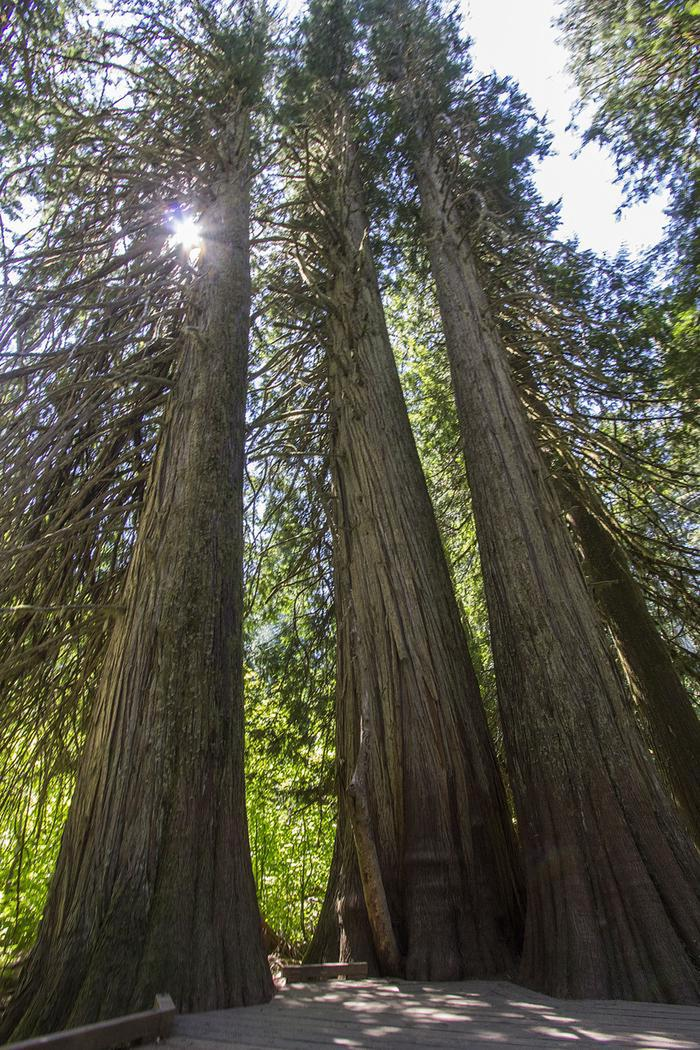 Giants of the Old-Growth ForestWith some of the few remaining old-growth forests in the Cascade Mountains, Mount Rainier National Park protects native plants great and small in places like the Grove of the Patriarchs.