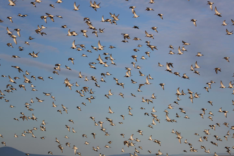 Flock of shore birdsFlock of shore birds taking flight