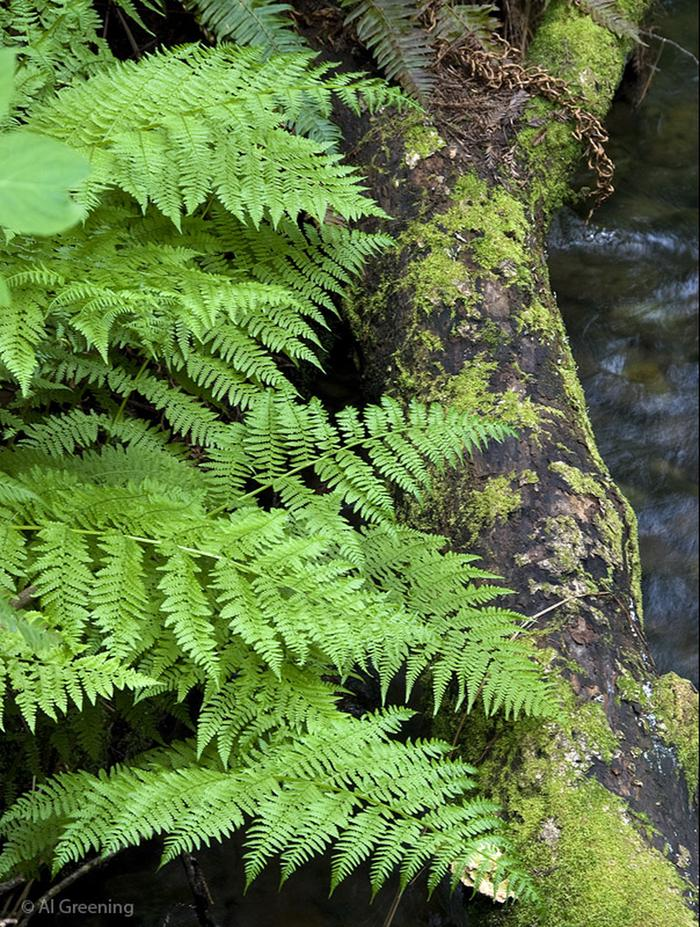 Lady FernAt least ten species of ferns grow in Muir Woods - fern seem to grow larger in redwood forests than other forests - possibly competing for attention from the redwoods?