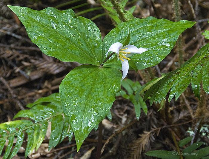 Trillium ovatumTrillium ovatum blooms in late winter and early spring along the forest floor.