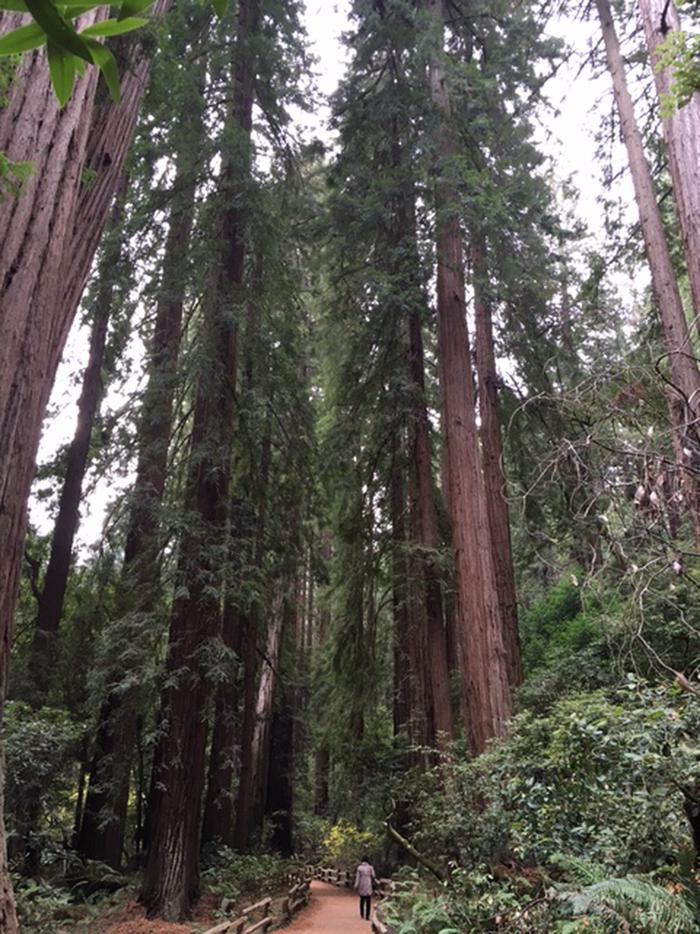 Redwood treesMeander along the main trail and consider your size compared to these giants.