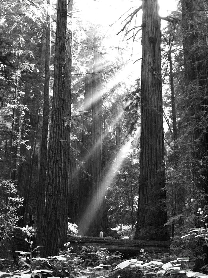Bohemian GroveLater afternoon is a gorgeous time of day to visit Bohemian Grove, inside Muir Woods.
