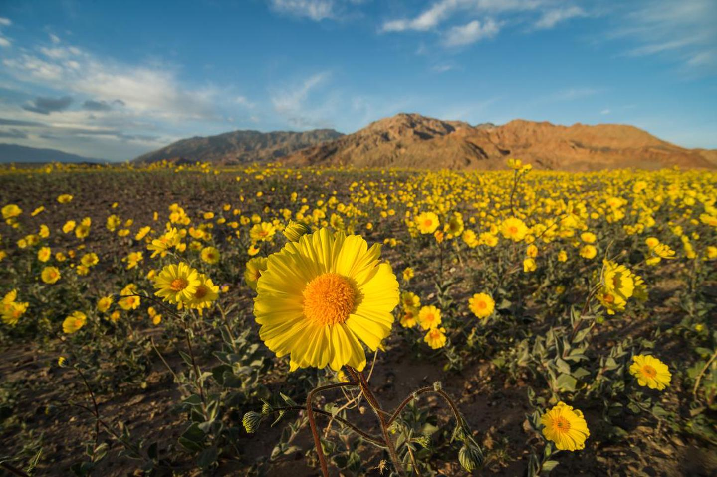 A rare superbloom of Desert Gold.About once a decade, rains at the right times can lead to a rare superbloom!