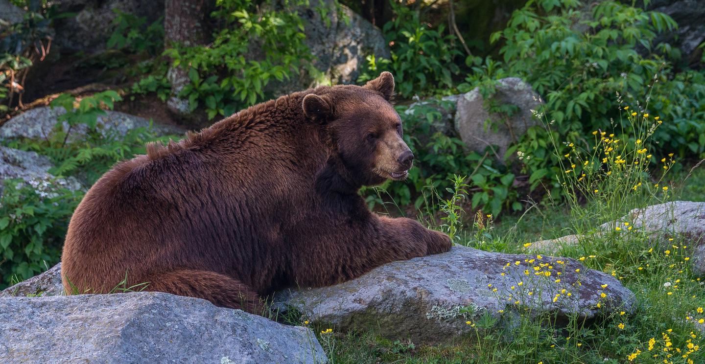 Black BearBlack bears are among the many mammals found across the Blue Ridge Parkway.