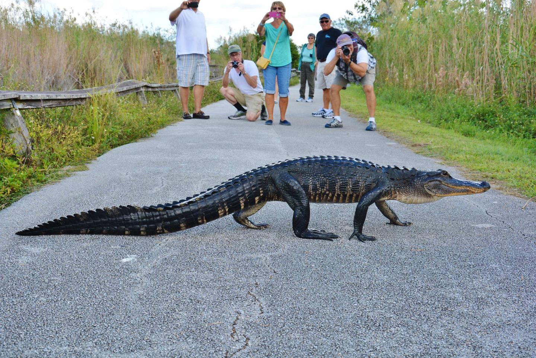 American AlligatorAn American Alligator high walks the Anhinga Trail.