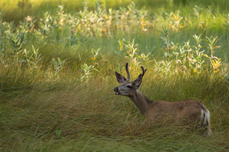 Deer bedded-down in a meadow.