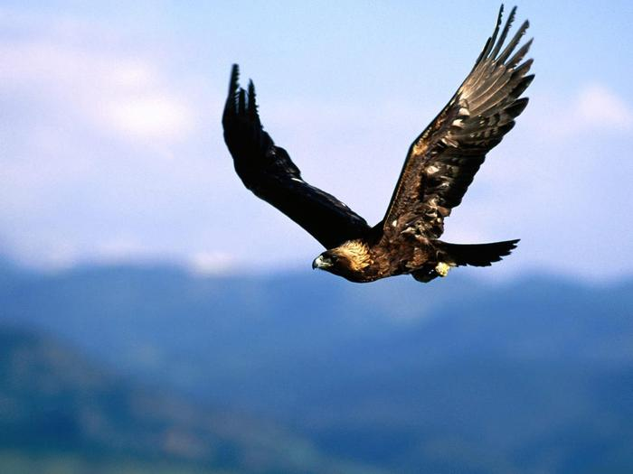 Golden EagleWildlife is abundant at Great Basin National Park including birds, deer, fish, and mountain lion.
