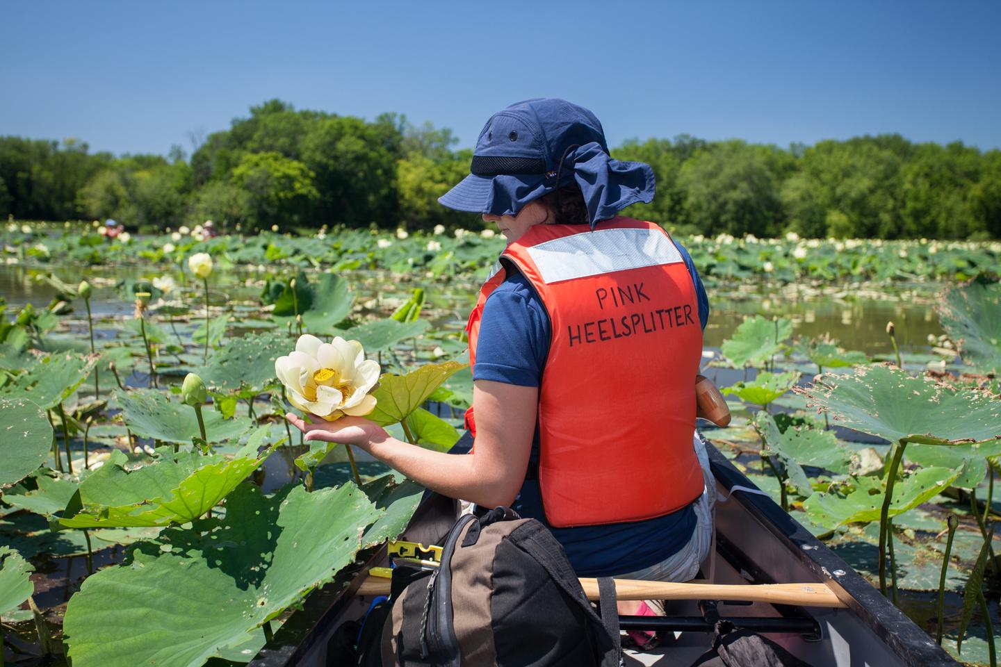 Canoeing through Lotus BlossomsLotus beds bloom in the backwaters of the Mississippi National River and Recreation Area and provide canoeists an unexpected visual treat.