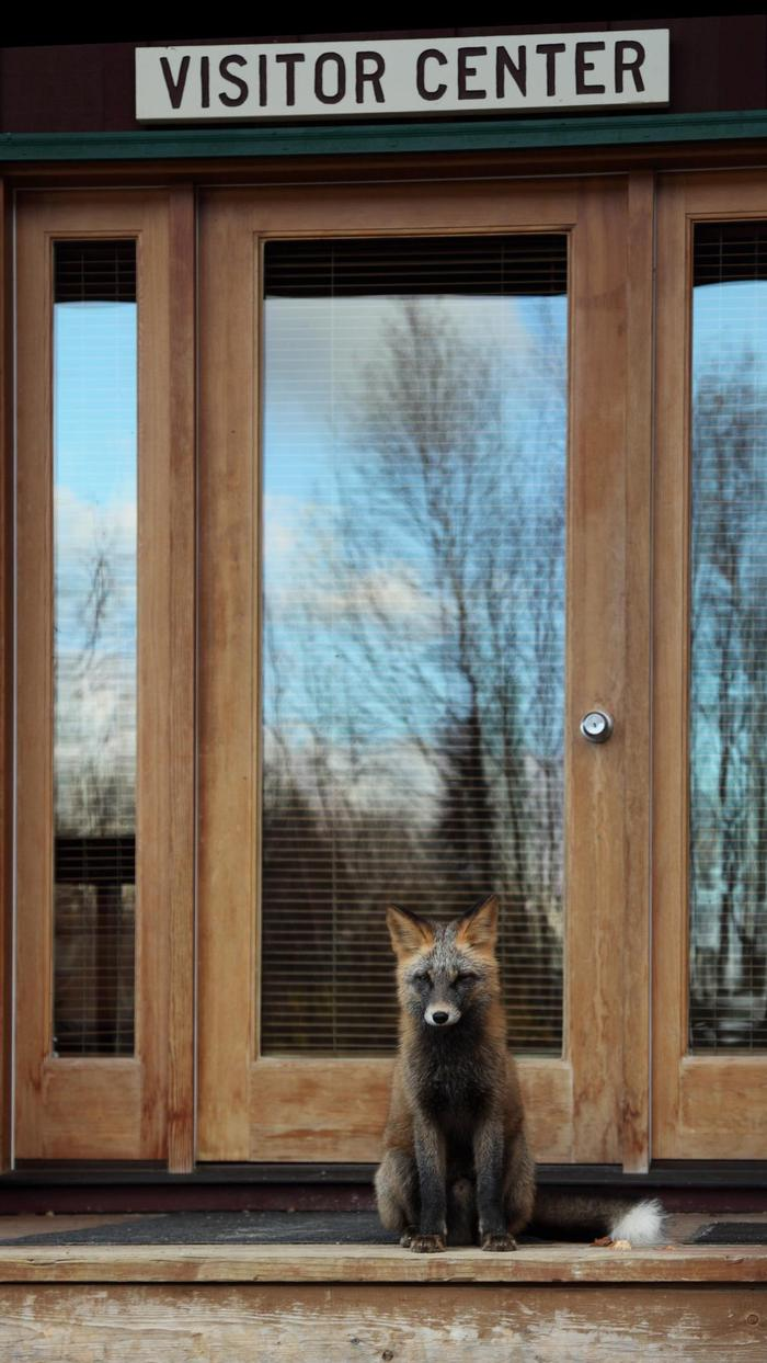 A Curious VisitorEven the local wildlife, like this red fox, make occasional visits to the Port Alsworth Visitor Center.