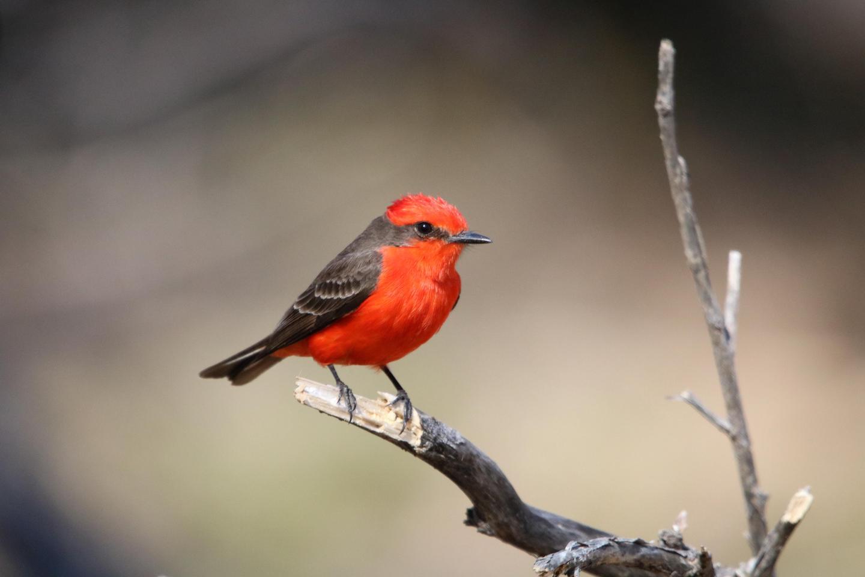 Vermilion FlycatcherBig Bend is home to over 450 species of birds!