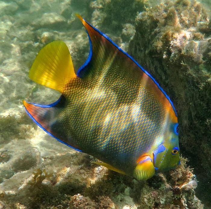 Queen Angel FishA Beautiful Queen Angel Fish