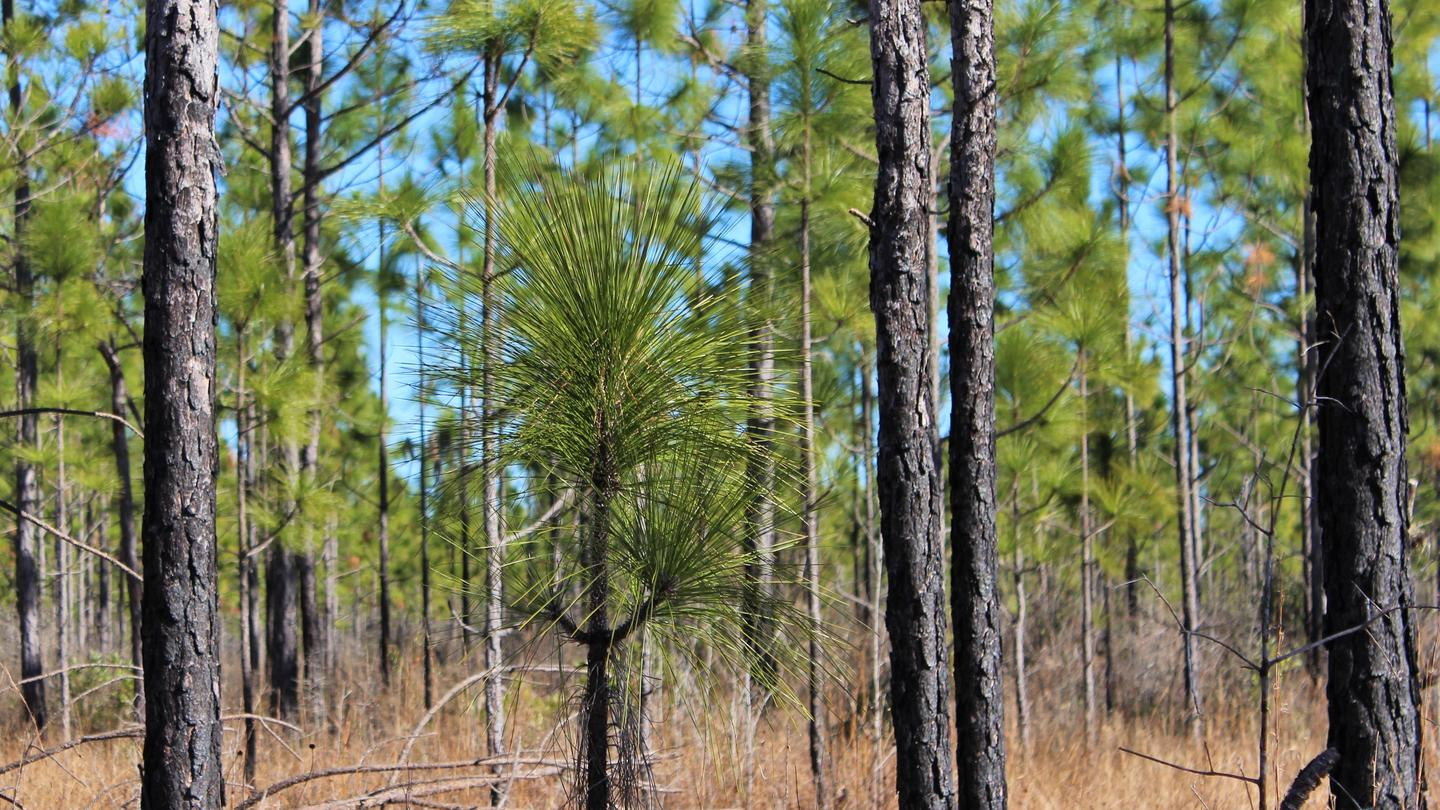 Longleaf PinesYoung longleaf pines grow in a newly-replanted forest near the preserve's visitor center and headquarters.