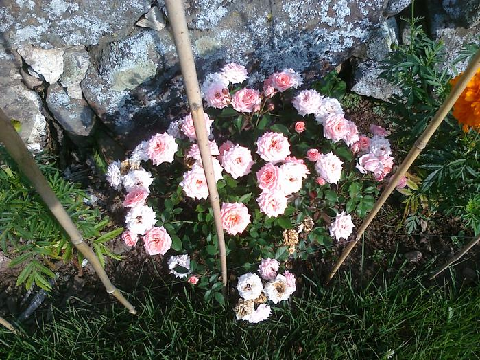 Light pink teacup rose bush at base of flower beds.
