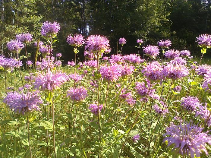 Light purple bee balm in the meadow at Ellsworth Rock Gardens